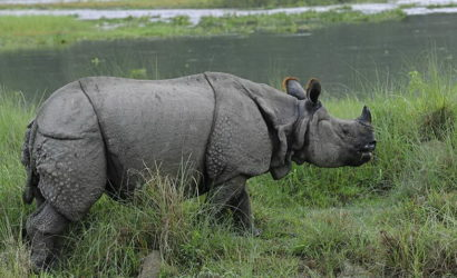 Rhino in Chitwan National park